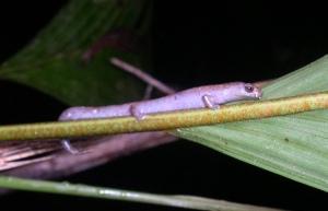 Bolitoglossa paraensis
